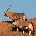 哈拉哈迪跨國公園的劍羚,節錄自哈拉哈迪跨國公園網站