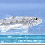 四萬十川發現的新品種淡水魚(yodoensis),位於高知縣四萬十市。