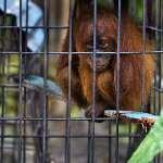 關在籠中的紅毛猩猩,Paul Hilton攝,節錄自mongabay.com報導畫面