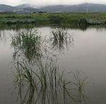 由於福壽螺搶食稀少的藻類,造成這些藻類幾乎快要絕種,照片為「響灘棲息地沼澤」(位於北九洲市若松區)