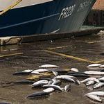 蘇格蘭一處碼頭上被丟棄的漁獲。(照片:Peter Hawkey提供)。