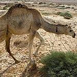 2009年10月,駱駝在敘利亞的旱災中苟活著(照片由Richard Avis提供)。