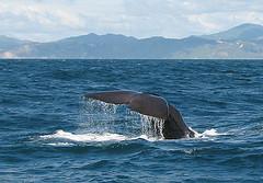 研究顯示,鯨魚會躲避海軍用來偵測潛水艇的聲納。(攝影:Bluegreen Pictures/Doug Perrine)