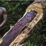 被聯合國列為世界遺產的馬達加斯加馬蘇阿拉國家公園中,一位非法伐木工人正在砍伐一棵300至400歲的玫瑰木。(攝影:Pascal Maitre/Cosmos/eyevine。)