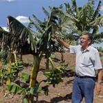 農藝學家羅德理格斯表示低矮的大蕉,更能抵禦颶風帶來的強風。(照片:Jorge Luis Baños/ IPS。)