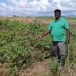 在千里達,Ramdeo Boondoo的田裡種了許多根莖作物,包括地瓜、木薯、山藥和芋類(照片由Jewel Fraser/IPS提供)。