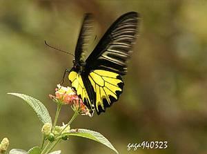 環境生態保育好,人生就如鳳蝶一般翔舞。圖片為黃裳鳳蝶