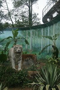 白老虎不是虎(Panthera Tigris)的某個「品種」,而是人類刻意近親交配繁殖,多半帶有遺傳性疾病、受先天健康不良之苦的「病虎」。圖片提供:台灣動物社會研究會。