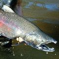 國王鮭因環境汙染而造成毒素殘留體內。圖片提供:The Daily Green。