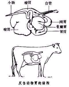 牛的反芻結構