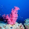 紅珊瑚 。圖片提供:維基百科