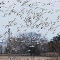 雪鵝飛越凱蒂草原一景;圖片來源:Kelly Williamson