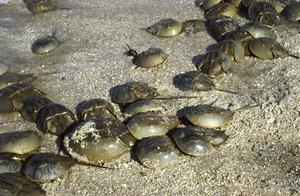 德拉威灣的鱟;圖片來源:NOAA