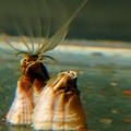 藤壺伸出長長的交尾器;圖片提供:余慧盈