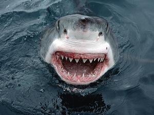 沙魚鰭不離身為鯊魚資源增加一道防護。圖為澳洲南部的大白鯊。Homezone Testing 攝