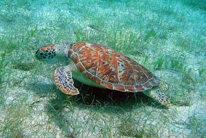 綠蠵龜;圖片來源:Caroline Rogers