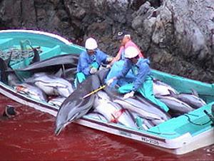 日本和歌山的小漁村太地町捕殺海豚現場。照片來源:Campaign Whale