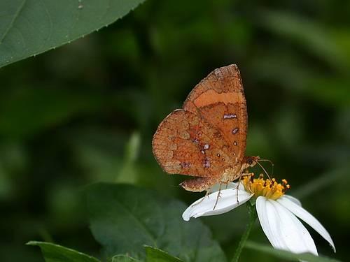 帶錨紋蛾(Callidula attenuate)大白天裏,總是像蝶一般飛舞,像蝶一般吸花蜜,像蝶一般停憩時合攏雙翅。即使是她的觸角,雖不是棍棒狀,但也不容易仔細分辨出與蝶觸角的不同。攝影:楊家旺