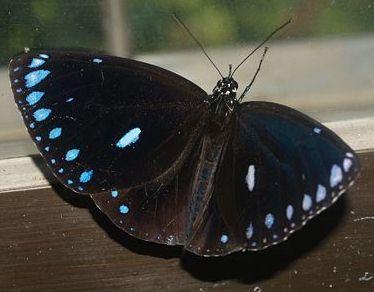 圓翅紫斑蝶,圖片來自台灣昆蟲維基館。