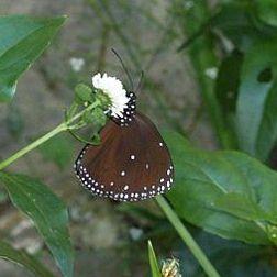 小紫斑蝶,圖片來自台灣昆蟲維基館。