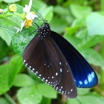 斯式紫斑蝶,圖片節錄自ㄚ發果園部落格。