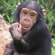 黑猩猩 | 台灣環境資訊協會-環境資訊中心 Chimpanzee Jane