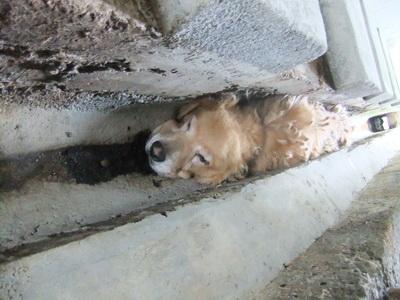 北縣金山收容所,一隻黃金獵犬卡在水溝縫中,不知已死亡多久,收容所管理員竟渾然不知。該收容所還獲縣府頒發獎金30萬。