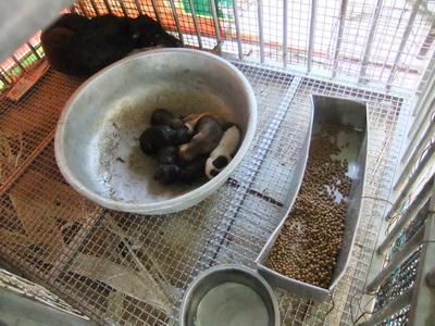 鶯歌收容所。籠中的幼犬尚未離乳,所方把們丟在籠裡就不管的方式,無異送牠們上死路。