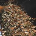 低溫讓蝴蝶無法飛行,只能棲息在樹上,成了蝴蝶樹的奇觀