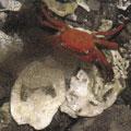 產卵中的紅螯蟹/圖片版權歸屬社團法人日本國民信託協會(The Association of National Trusts in Japan)