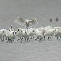 曾文溪口的黑面琵鷺群落。