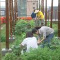 師大環教所利用樓頂開設自己的菜園。
