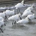 黑面琵鷺數量可望再創新高;照片提供:台南縣野鳥學會