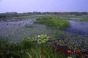 91年拍攝的水雉復育區第二期第8號生態池混生有菱角、睡蓮、印度莕菜,並混合種植荸薺、香蒲、蓮花等挺水性水生植物。