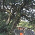 雙溪鎮-三貂村榕樹/編號:北50∥樹種:榕∥高/公尺:10∥直徑:3.5∥年齡:100∥地點:雙溪鄉三貂村十三層10號