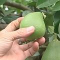 苗栗西湖的文旦農,心酸地篩選掉畸形的柚子,這是他們是第一次遇到這樣的情況。