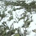 2005年氣候異常,3月初的大雪,更讓中海拔的雲林古坑、嘉義梅山等地區,罕見的降下皚皚白雪。