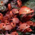 夏威夷水域長滿了健康的珊瑚和龐大的魚群,圖為金鱗魚(Squirrelfish)(圖片取自ENS網站)