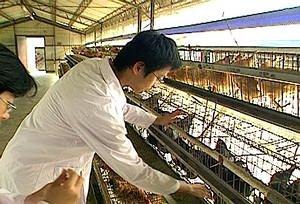 民國71年,中興大學成立台灣土雞種原保育場,四處蒐尋有特色的雞種,把種原保存下來,叫做保種雞。(圖片提供:公共電視「我們的島」)