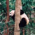 四川大熊貓(貓熊)棲息地今年列入世界遺產名錄。(圖片來源:UNESCO,攝影:周海祥[音譯])
