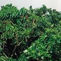 青脆枝的枝幹,在蘭嶼當地被拿來當作圍籬或是砍來做薪柴。楊宗愈攝。