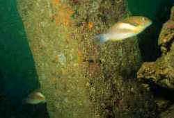 在龜吼煤區所拍攝到的寒鯛 (攝影:陳麗淑)