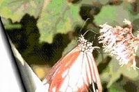 青斑蝶(轉載自陽明山國家公園網站)