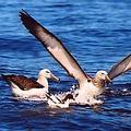 根據統計,每年至少有30萬以上的海鳥死於捕魚者的延繩釣法。