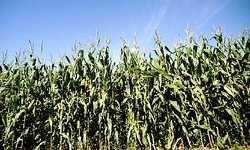 Syngenta公司研發的Bt10基改玉米。照片提供:Syngenta