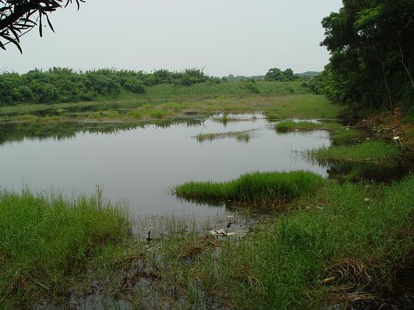 城市的濕地在城市生物多樣性中扮演要角。圖為楊梅731號戰備溜池,曾因台北赤蛙出現其中而聲名大噪。照片來源:林華慶提供