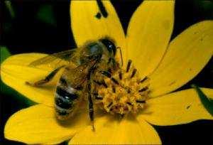 北美蜜蜂大量減少,對生態與農業造成影響。(圖片來源:AGR)