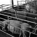 集約畜牧生產系統在全球各地欣欣向榮。