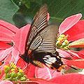圖1:有尾型的大鳳蝶雌蝶舞動飄帶,穿梭花間。
