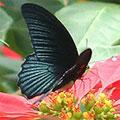 圖2:大鳳蝶雄蝶,都是無尾的!